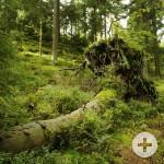 Baumstumpf_Natur_Wald